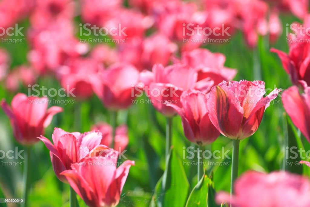 Pink flowers tulips - Royalty-free Agricultural Field Stock Photo