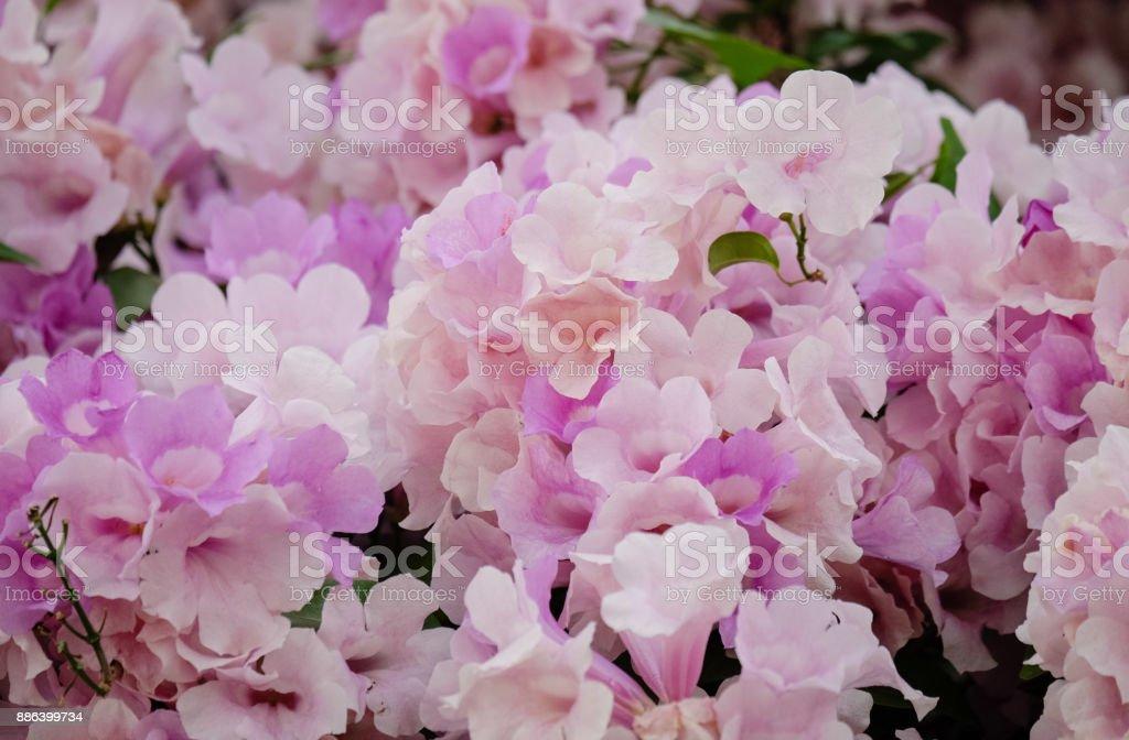 Rosa Blten Winter Blumen Von Thailand Stock Fotografie Und Mehr