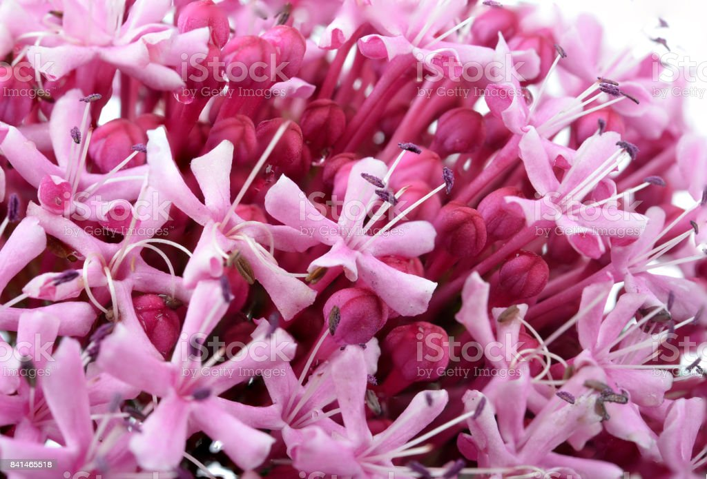 Pink flowers/Eupatorium maculatum stock photo