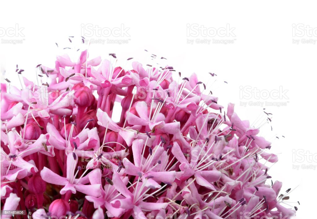 Pink flowers/Eupatorium maculatum/ stock photo