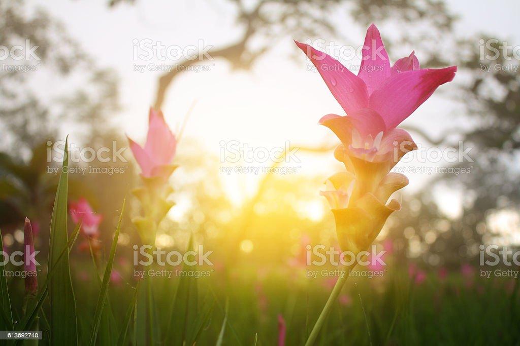 pink flower,Siam tulip stock photo