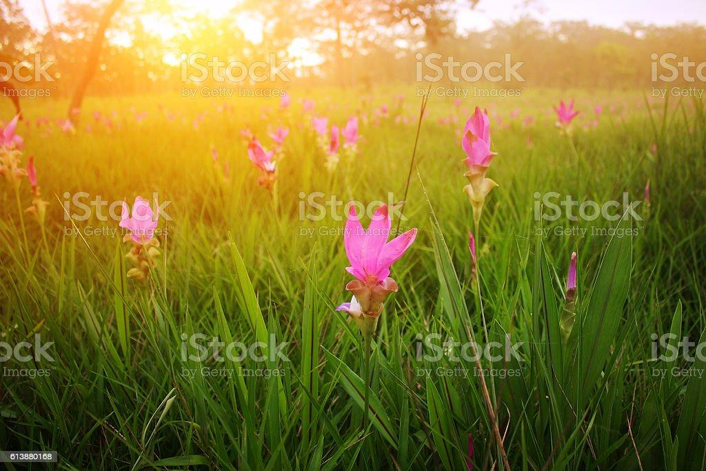 pink flower,Siam tulip (Krachiao) stock photo