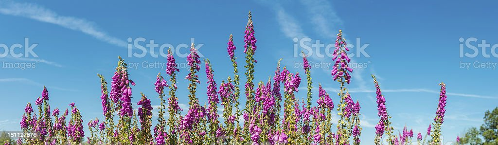 Pink foxgloves growing in forest clearing under blue summer skies stock photo