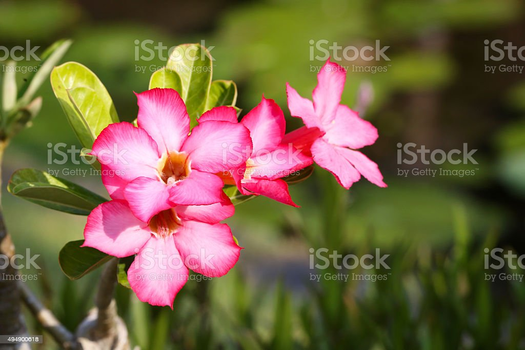 Pink frangipani in the tropical garden stock photo