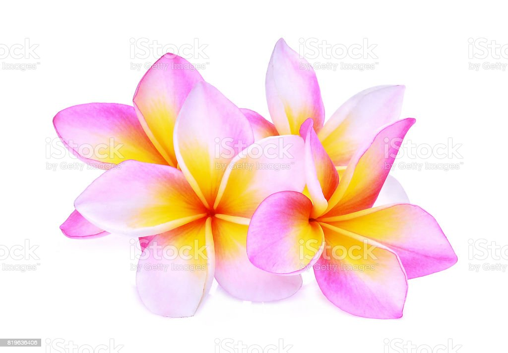 pink frangipani or plumeria (tropical flowers) isolated on white background stock photo