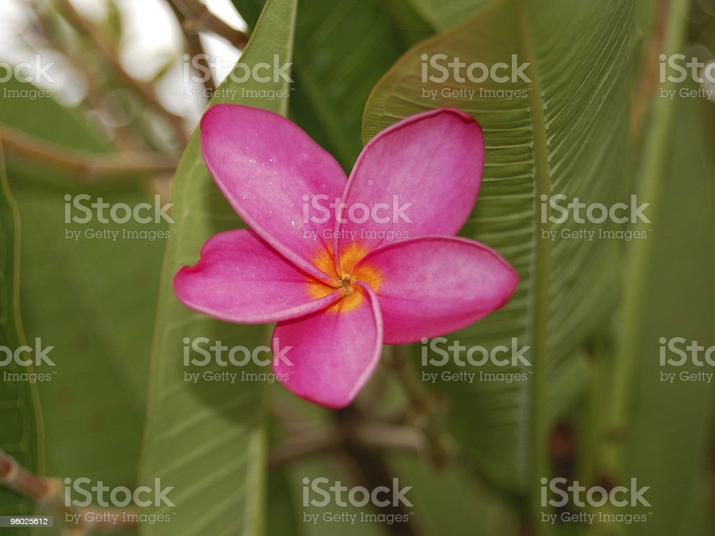 Pink frangipani royalty-free stock photo