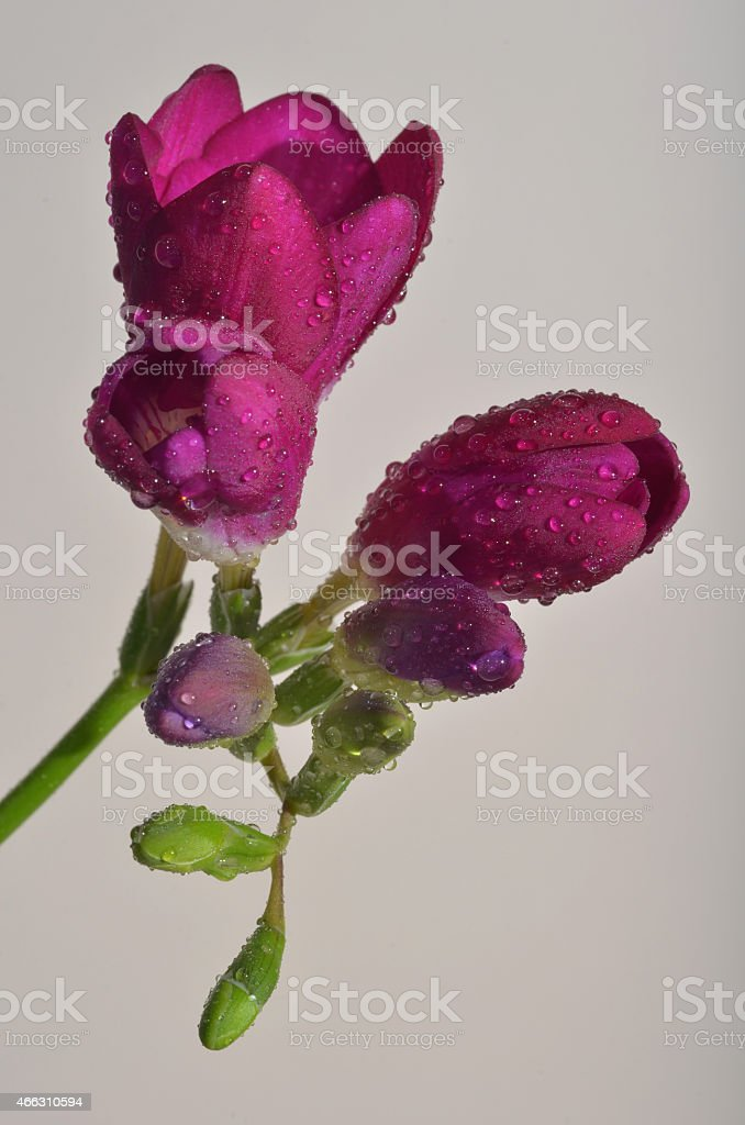 Pink freesia flower with water drops isolated stock photo istock pink freesia flower with water drops isolated royalty free stock photo mightylinksfo