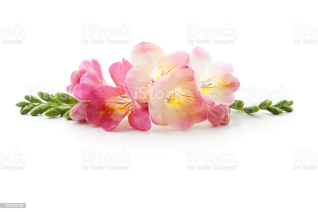 Pink freesia flowers laying on white background stock photo