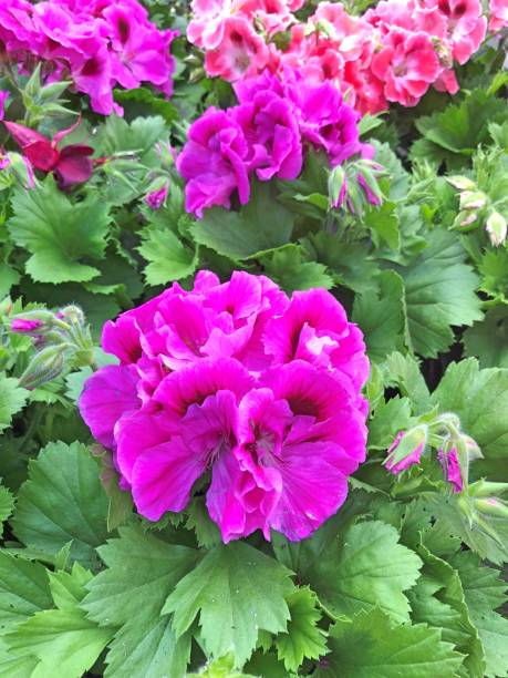 Pink French Geraniums