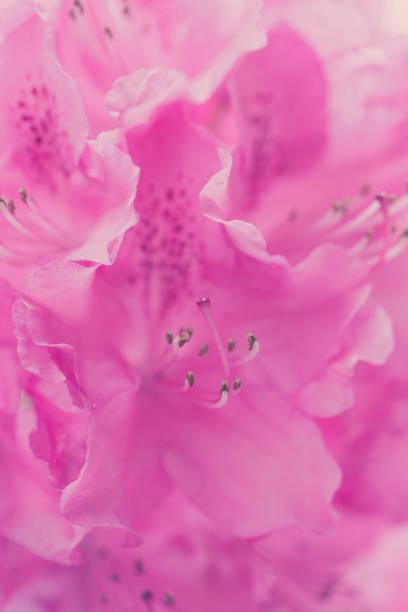 rosa, frischen, lebendigen violetten wächst im garten blumen kopf extreme makro - liebesbeweis für ihn stock-fotos und bilder