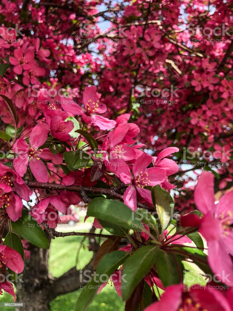 Pink fuchsia blossoms on tree royalty-free stock photo