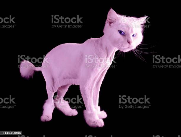 Pink funny groomed cat with a short haircut and wiht tassel tail on picture id1144364596?b=1&k=6&m=1144364596&s=612x612&h=t7br0bdnpccmsdh038yjpq3kh1rnr24mxx3ftz 8hpy=