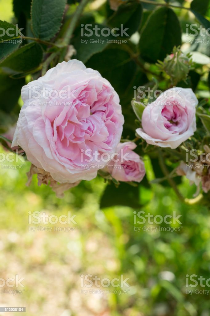 rosa galica belle isis 1845 stock photo