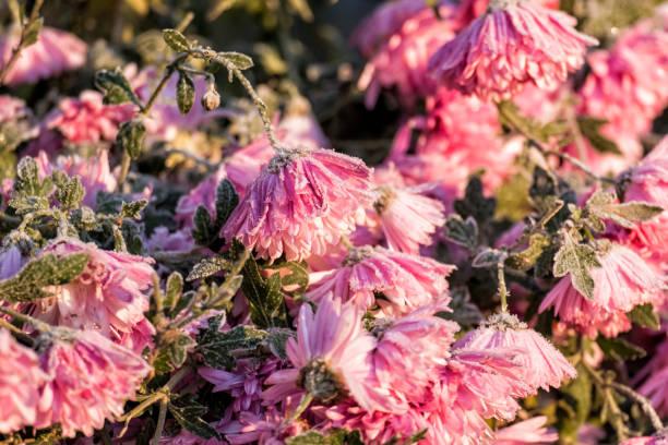Pink garden chrysanthemums covered with frost (Chrysanthemum morifolium) stock photo