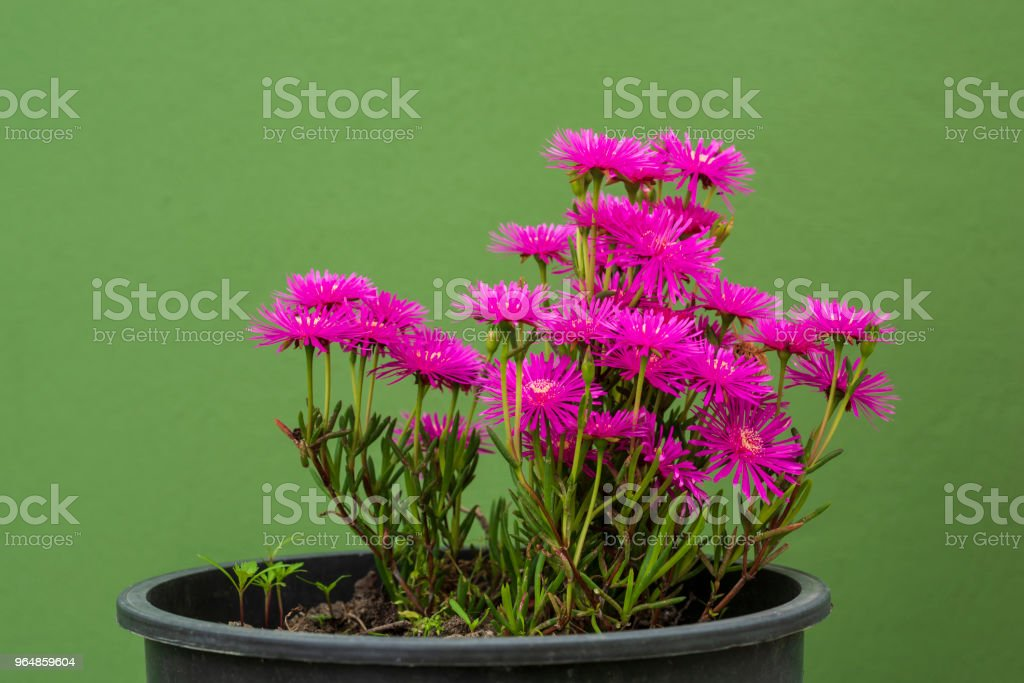 pink garden daisies royalty-free stock photo