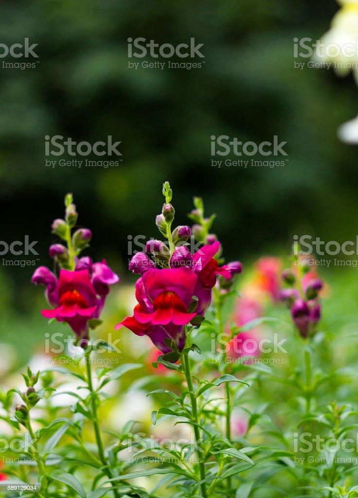 pink garden flowers antirrhinum or dragon flowers or snapdragons