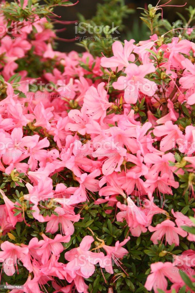 Pink garden flowers in botanic garden. stock photo