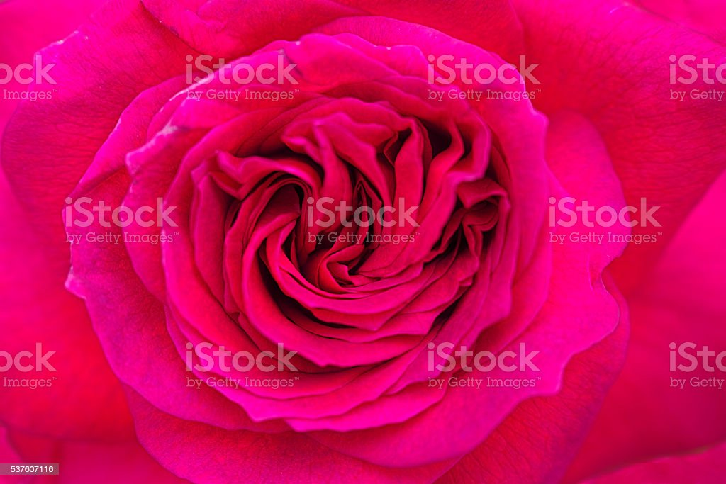 Pink garden rose from Bulgaria royalty-free stock photo