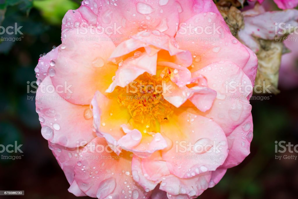 Pink Garden Rose in bloom, Cape Town, South Africa foto de stock royalty-free