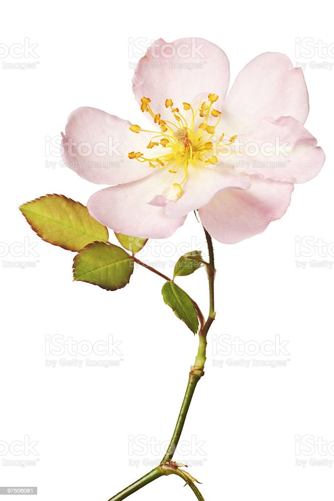 pink garden rose isolated royalty-free stock photo