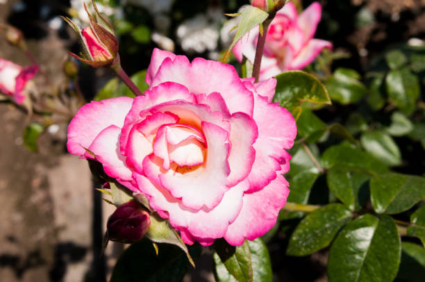 Pink garden rose picture id1063201140?b=1&k=6&m=1063201140&s=612x612&w=0&h=gz5ht5798zzsuf3n2adryf0mzhd nhn osqvaxuracq=