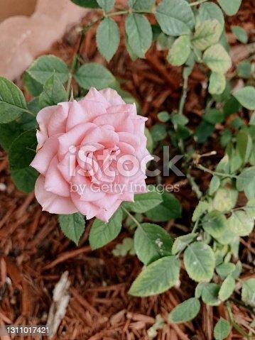 Pink Garden Rose Plant in West Palm Beach, FL.
