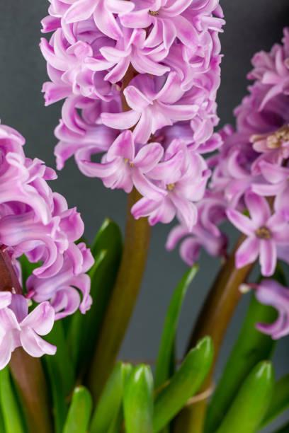 Rosa Geocinth Blumen auf einem grauen Hintergrund. Helle Knospen für Dekoration und Postkarten. – Foto