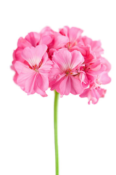 pink geranium flower isolated stock photo