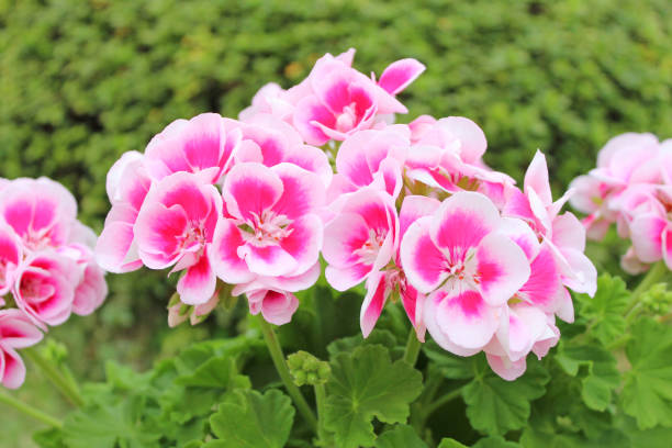 Pink geranium flowers stock photo