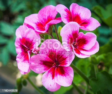 A bright pink geranium plant grows in a Cape Cod garden.