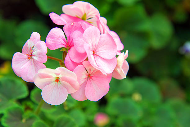 pink geranium flowers stock photo