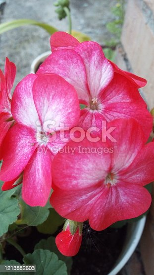 Pink geranium flowers with white core