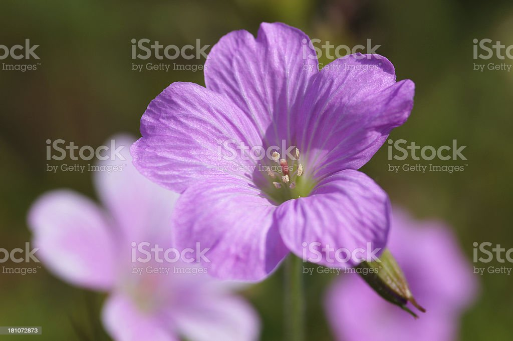 Pink geranium royalty-free stock photo