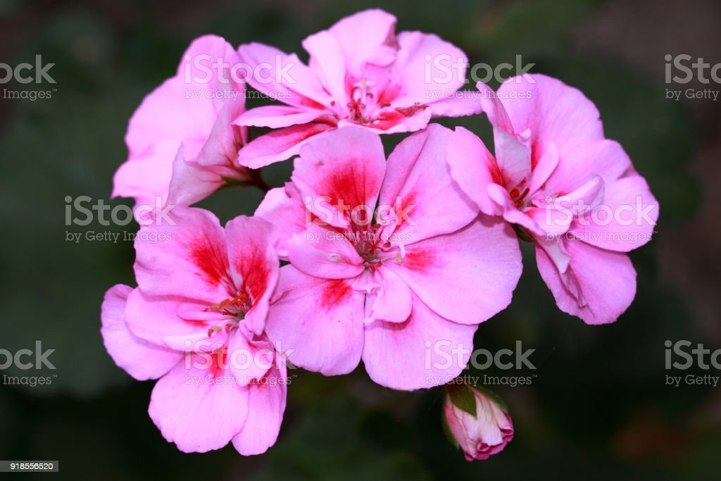 Pink geranium with dark red accents in the middle stock photo
