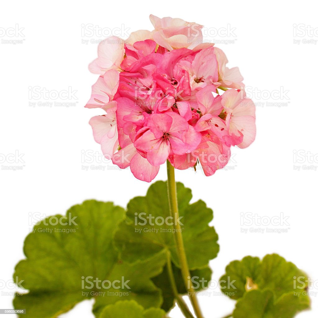 Pink geranium (pelargonium) with green leaves isolated on white royalty-free stock photo