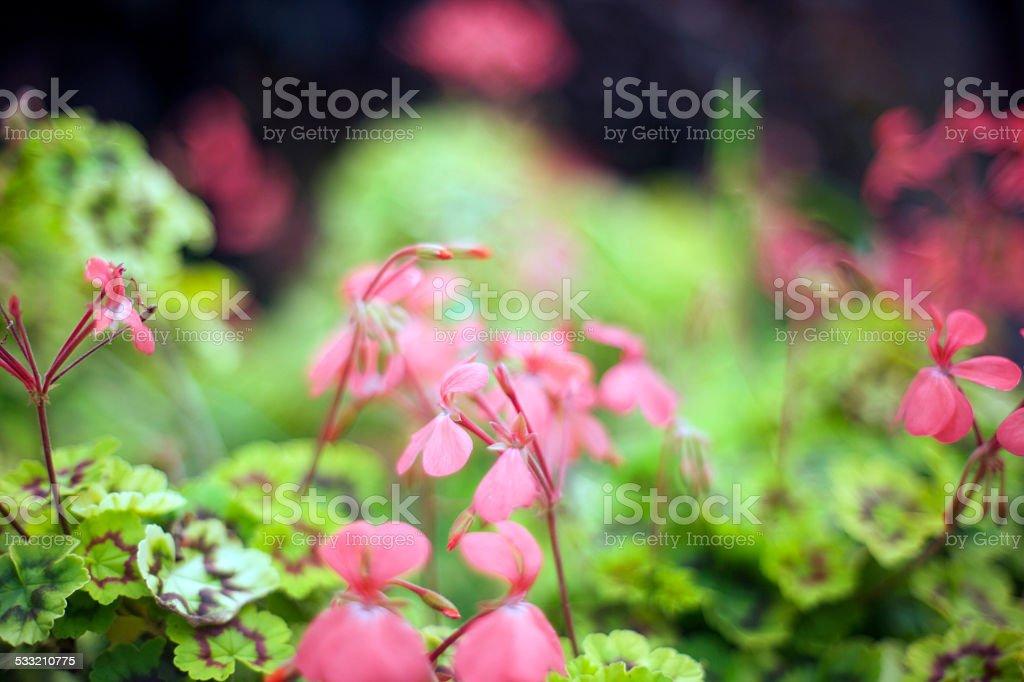 pink geraniums stock photo