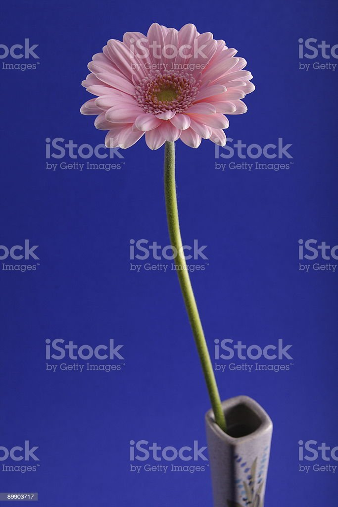 Pink Gerbara on Blue in Vase Right royalty-free stock photo