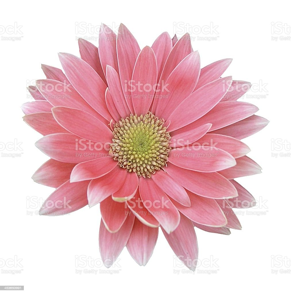 Pink Gerber Daisy Isolated on White stock photo