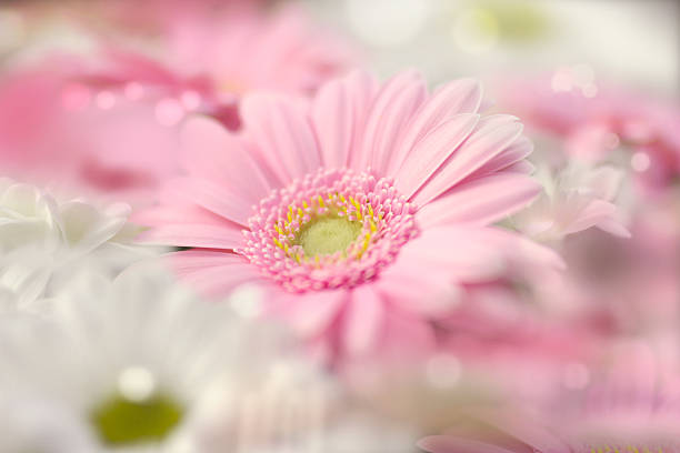 Pink gerber daisy stock photo