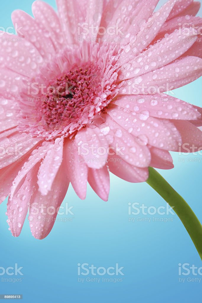 Pink gerber royalty-free stock photo