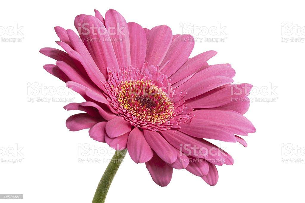 pink gerber royalty-free stock photo