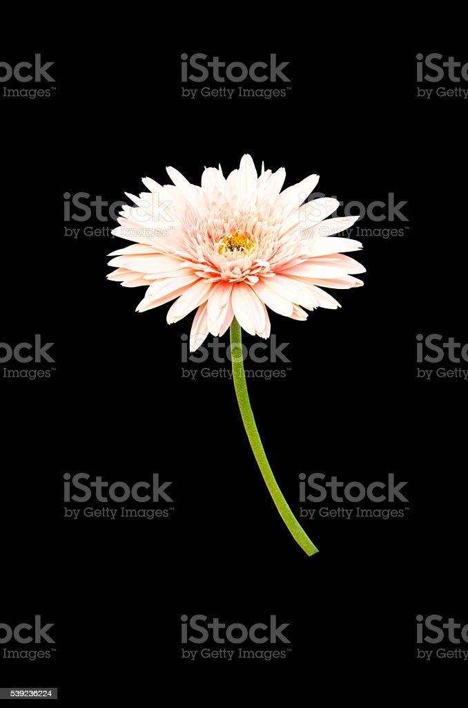 Pink Gerbera bloom Flowers isolated on black background. royalty-free stock photo