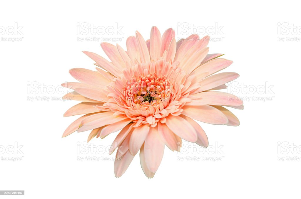 Pink Gerbera bloom Flowers isolated on white background. royalty-free stock photo