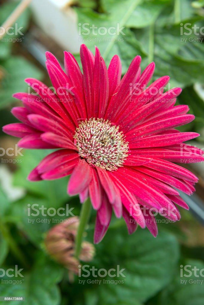 Pink gerbera close up stock photo