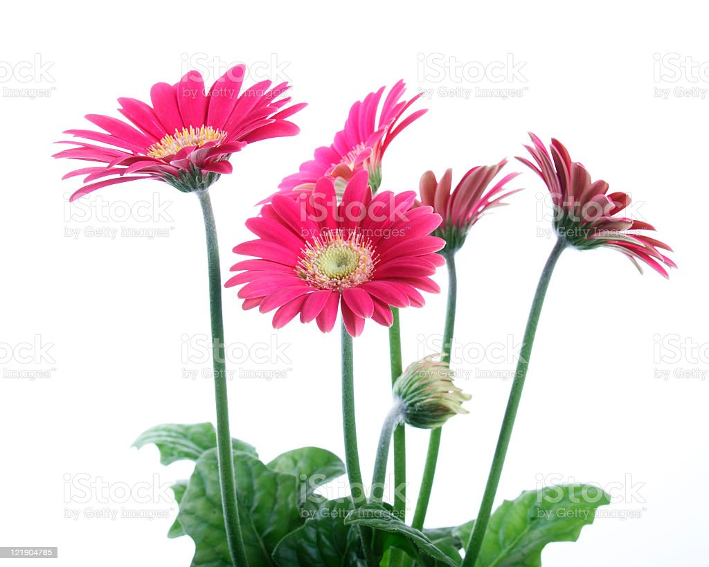 Pink gerbera daisies isolated on white background royalty-free stock photo