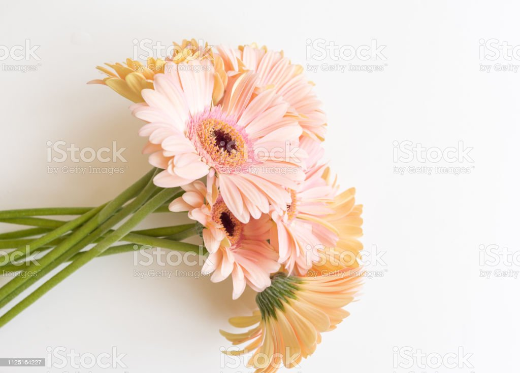 High angle view of bunch of pale pink gerbera daisies on white...