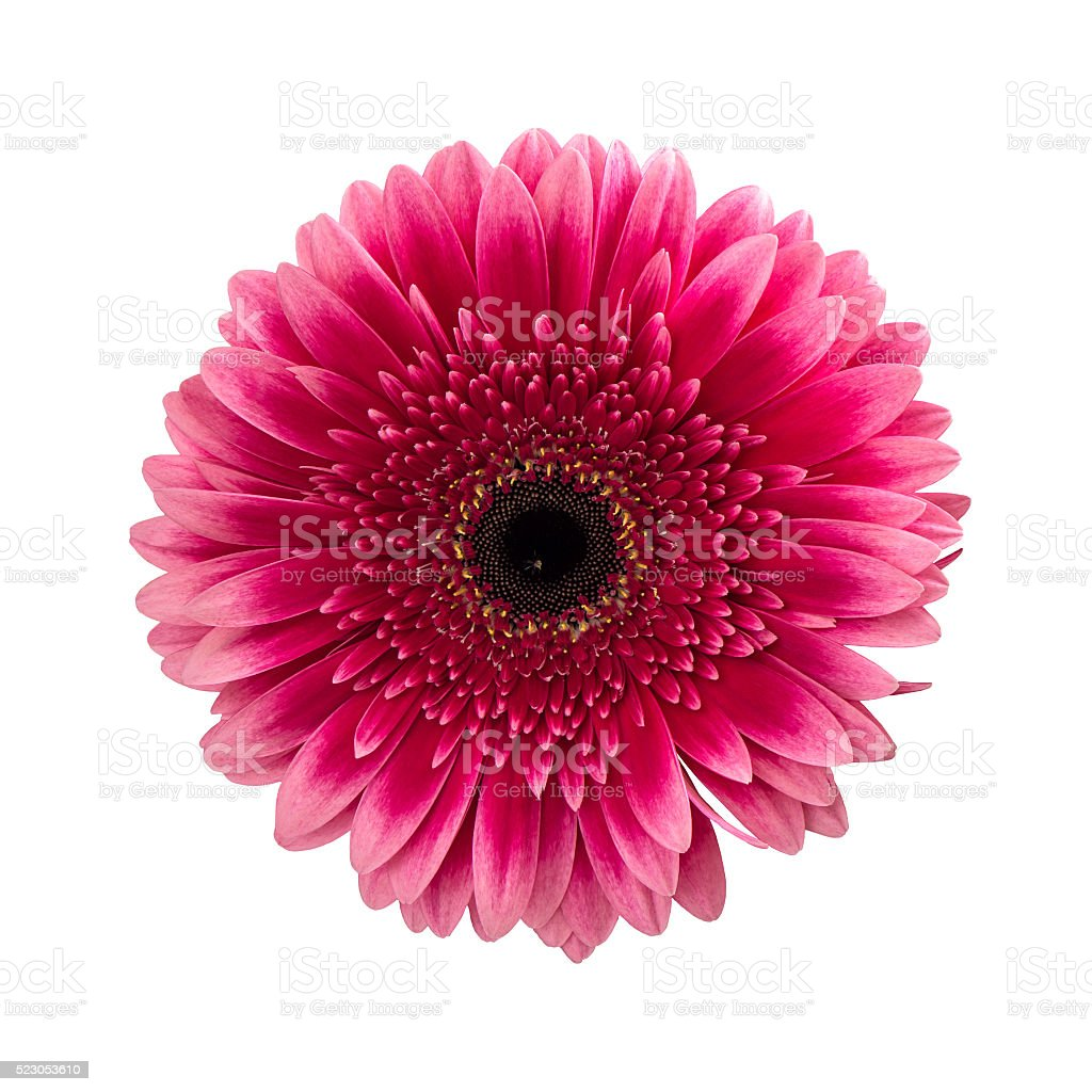 Pink gerbera daisy flower isolated on white stock photo