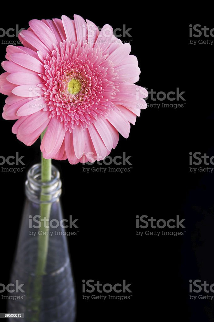 Pink gerbera daisy flower royalty-free stock photo