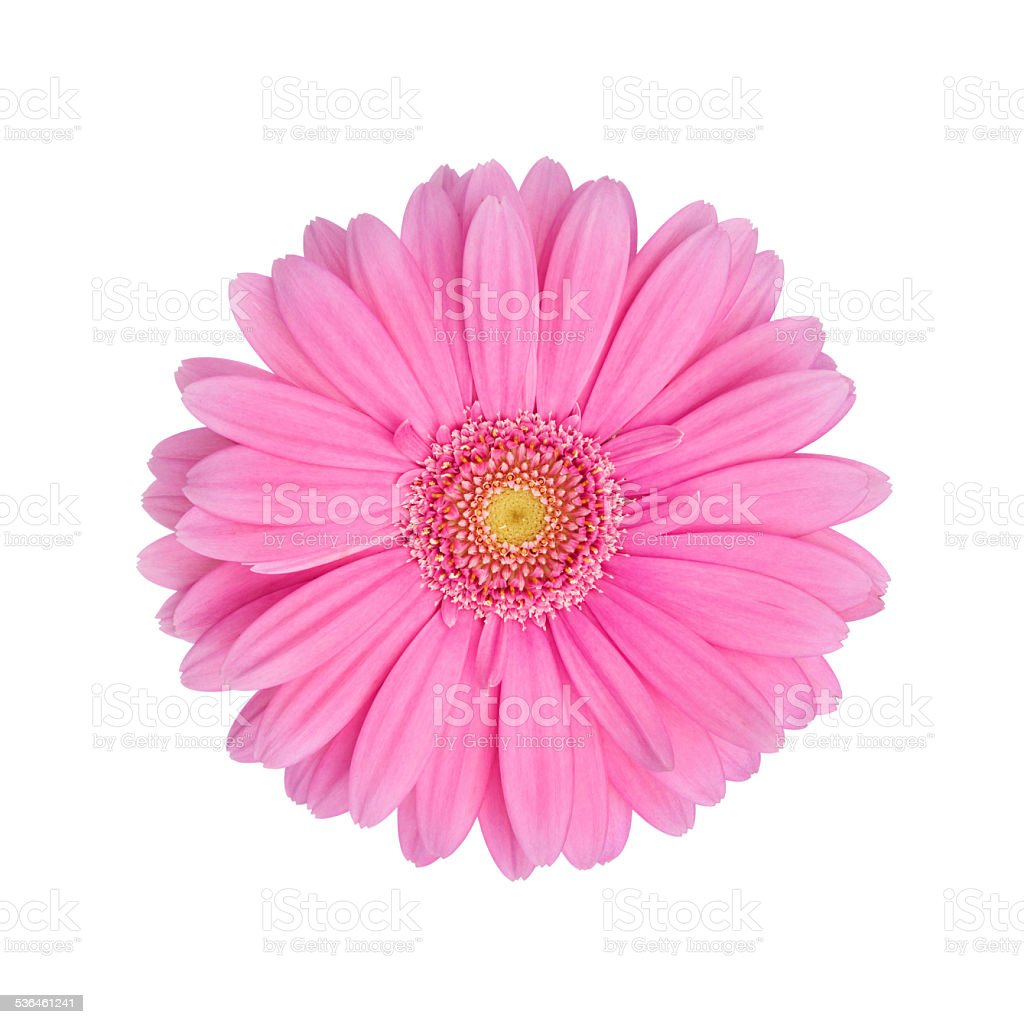 Pink Gerbera Daisy Isolated On White Stock Photo - Download Image Now -  iStock