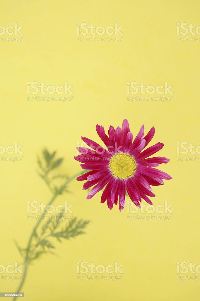 Pink Gerbera Daisy on Yellow Vertical royalty-free stock photo